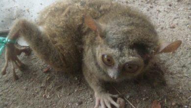 Photo of Bukan Hanya di Taman Nasional, Tarsius Ditemukan Hidup Dekat Pemukiman Warga Desa Maliwuko