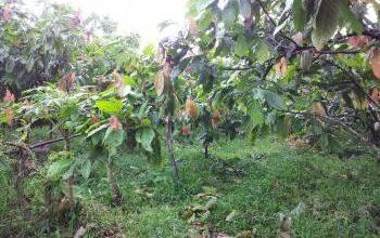Photo of Banyak Kebun di Wilayah Poso Pesisir Utara Tidak Lagi Dikelola