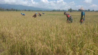Photo of Babinsa Bantu Warga Mayasari Panen Padi